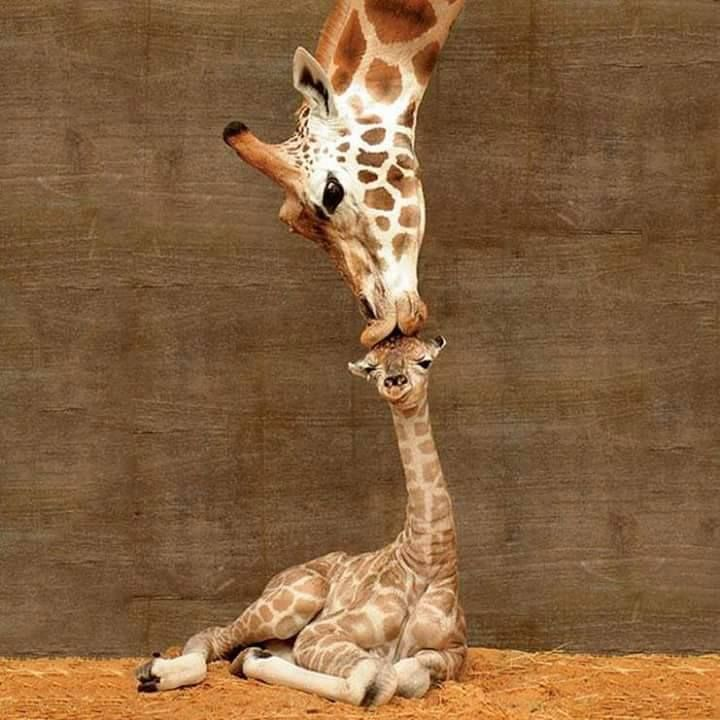 Misha the giraffe welcomes her newborn baby to the world with a kiss… http://po.st/oEciev    via @ViralSpell ..