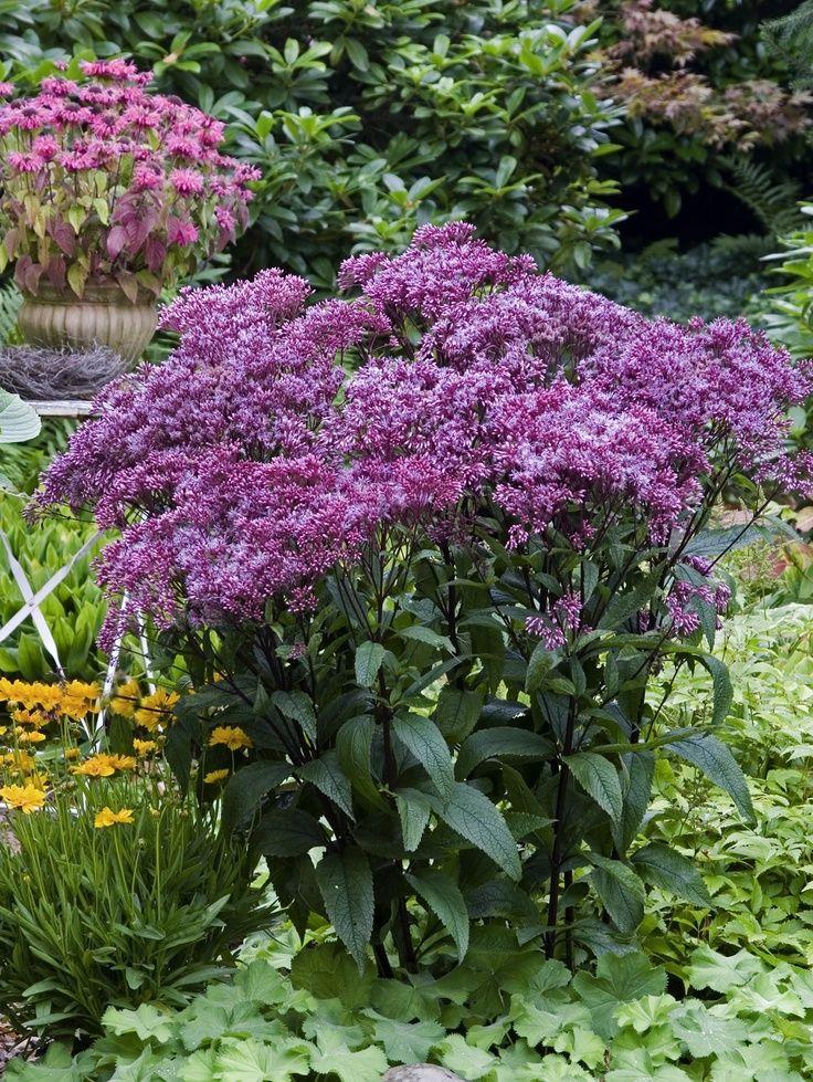 Best 25 full sun perennials ideas on pinterest for Landscape plants for full sun