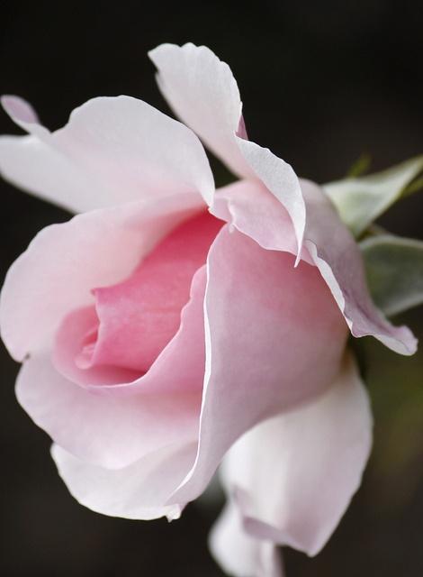 I love roses.