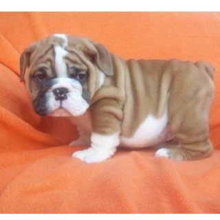 """What are YOU lookin' at??"" - Mini English Bulldog. so cute!!"