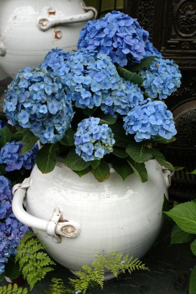 Fall is the season for hydrangea care