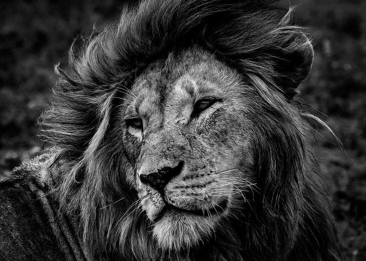 """The lion king"" in Ndutu, Tanzania ©Marina Turetsky"