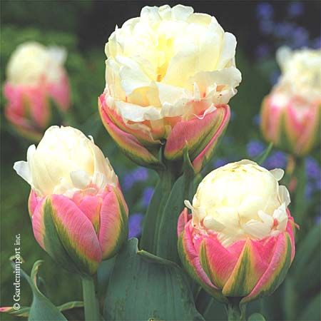 What is your favorite flower? We love these Ice Cream Tulips!