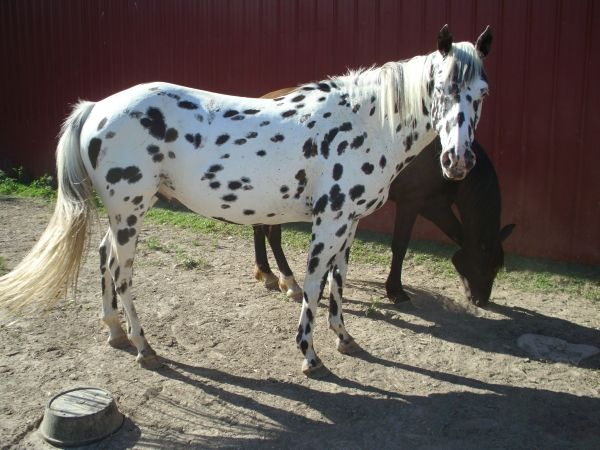 black and white leopard appaloosa | Born to Run... | Pinterest