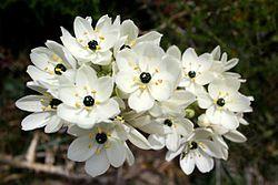 Orinithogalum arabicum, Araberstjerne, Amaryllidaceae Narsissfamilien, SNITT