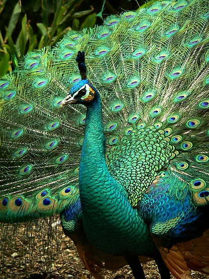 Peacock - by Margotk