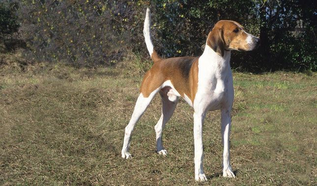 American Foxhound Breed Information