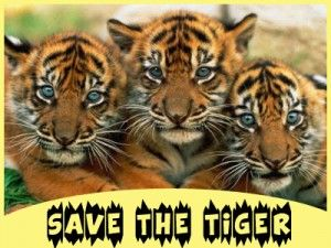 Is India Tiger friendly