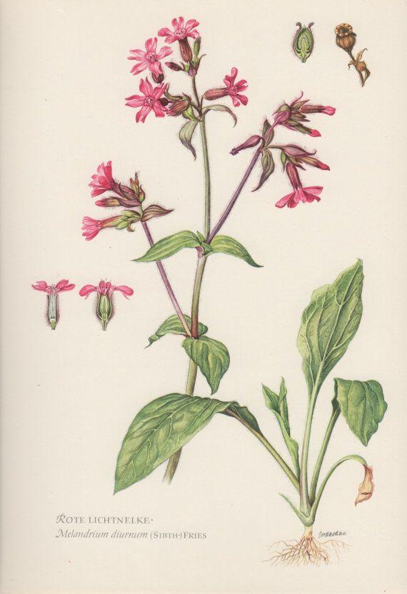 1954 rojo Campion Vintage botánico impresión litografía