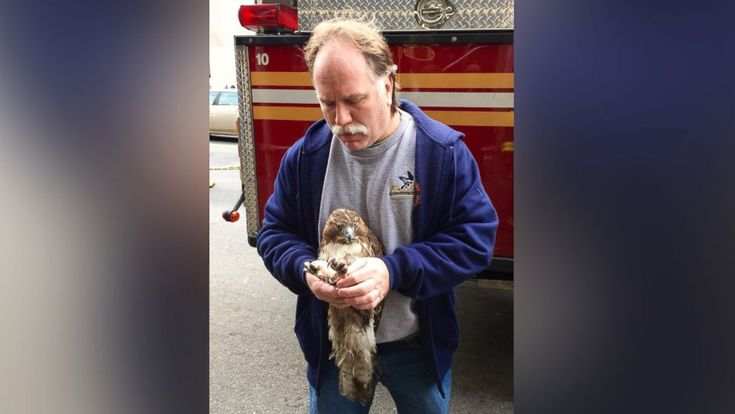 "A firefighter is being hailed a hero today after rescuing an injured red-tailed hawk that ""appeared sick and stuck"" on an air-conditioning unit in Manhattan."