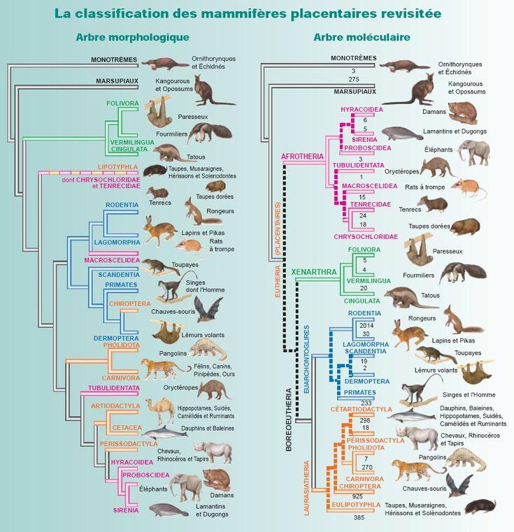Classification of Mammals : Notions of taxonomy   Mammals ...