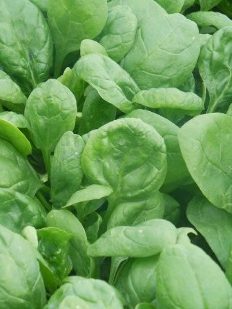 how to grow baby spinach from seeds