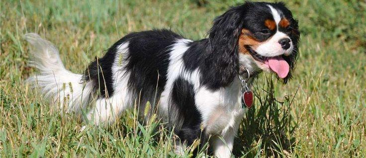 """De Beaglier is ontstaan door de kruising van twee rassen: de Beagle en de Cavalier King Charles Spaniel. Ze worden vaak aangeduid als een """"designer hond"""" en zijn bijzonder populair in Australië."""