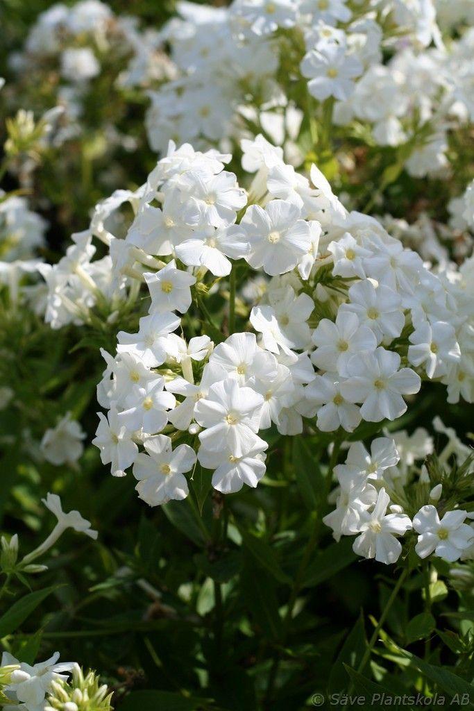 PHLOX paniculata ´Early White´ (PBR)´ - Säve Plantskola AB