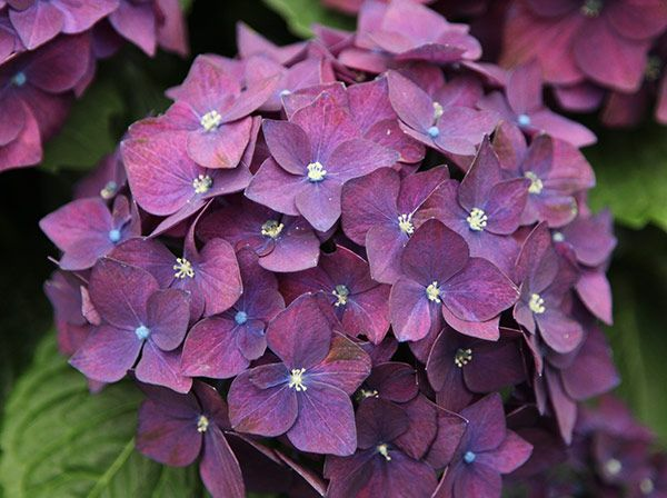 Hydrangea macrophylla 'Dark Purple' - One of the new breed of mophead hydranges, this one was chosen by us for the intensity of the flower colour. To get the best colour, you should apply hydrangea colourant at regular intervals, but even when grown in noraml or alkaline soils the flower colour will revert to a good shade of pinkish red. Long-flowering additions to the summer border, hydrangeas are one of the best-loved and hardest working of all the shrubs and therefore have become a…