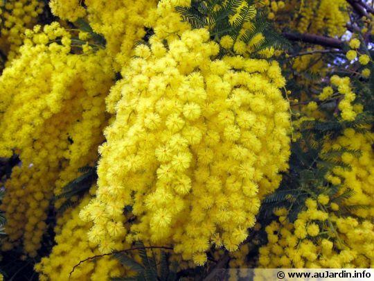 Fleurs du Mimosa d'hiver - Winter Mimosa. Acacia dealbata.