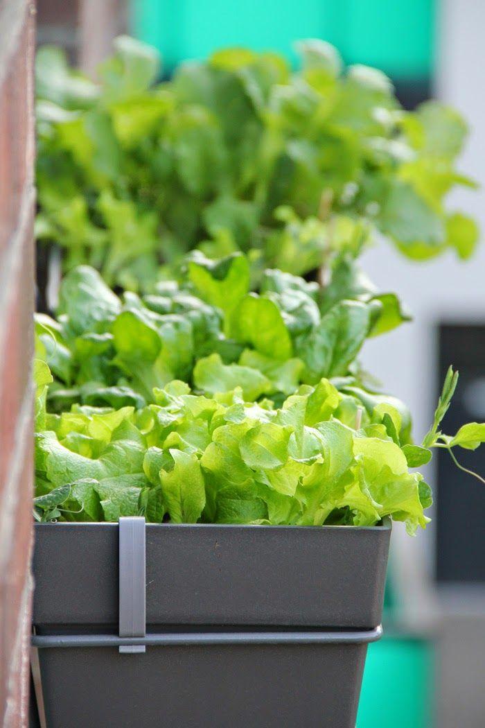Mein Balkon: Gemüse im Schatten anbauen - geht das?