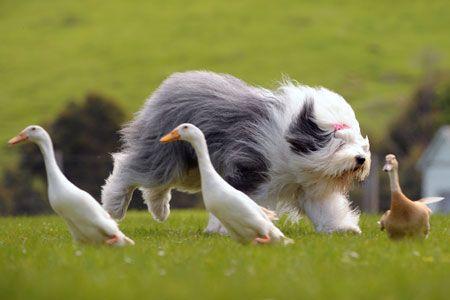 I have an old english sheepdog. His/her name may be Sebastian, Nana, Lulu or Bella.