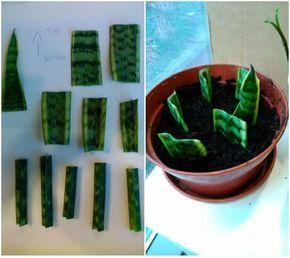 Los esquejes de tallo se usan en la reproducción de muchas plantas. Sólo hay que cortar un trozo de unos 15 cm de longitud que no tenga flores y colocarlo en un recipiente con sustrato húmedo. En el caso de los cactus o las suculentas es conveniente dejar el esqueje un par de horas al aire antes de plantarlo.