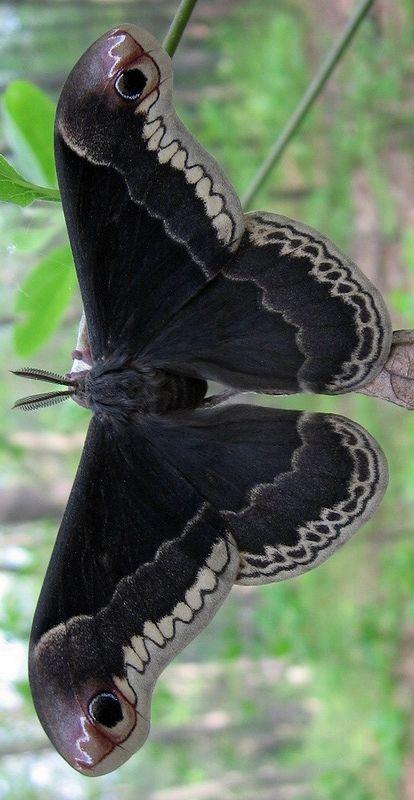 black # butterfly #
