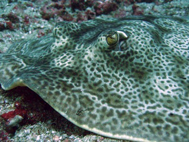 Ray. Costa Rica scuba diving. Buceo.