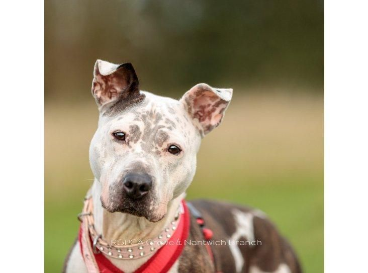 Pin On Dogs Staffies In Rescue