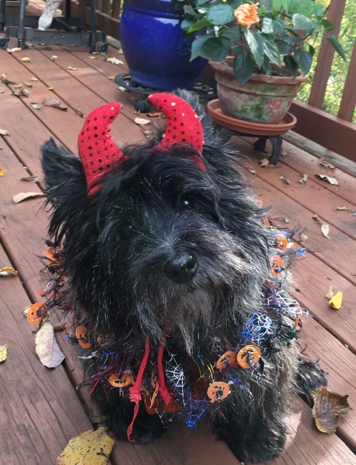 This photo was sent as an email (contactfyct@gmail.com). I've had a busy couple of months and had to indulge in cairn terriers (the ones who don't live in my house) less; it's been awful. But, what a wonderful gift to open today! Too bad I opened it...
