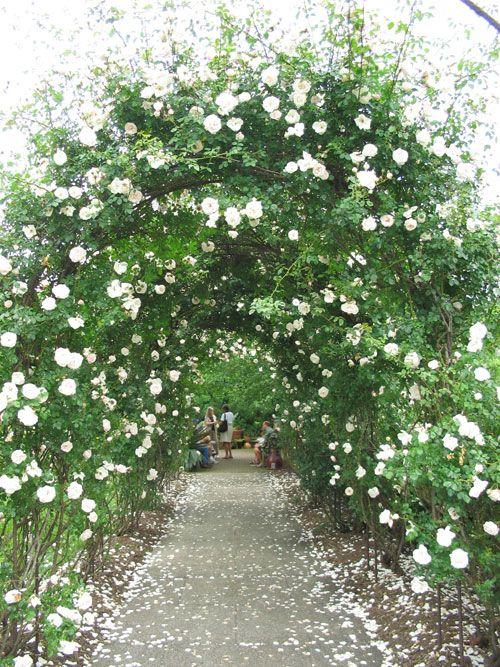 rosa 39 new dawn 39 walled garden plant palette pinterest. Black Bedroom Furniture Sets. Home Design Ideas