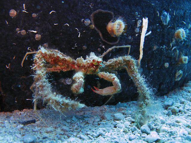 Kostas Ladas photography: Κάβουρας αράχνη-Spider crab Κατάδυση στην Δυτική Αττική (Αλεποχώρι-Πόρτο Γερμενό-Ψάθα)