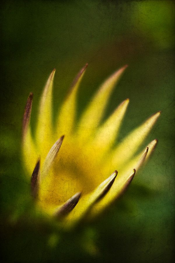 Gazania flower, focused on the tips of the petals. Post-processed with textures. Available as canvas/print on 500px Art.