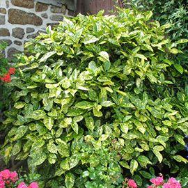 1000 id es sur le th me arbuste japonais sur pinterest fleur du japon arbre du japon et arbre - Arbuste japonais persistant ...