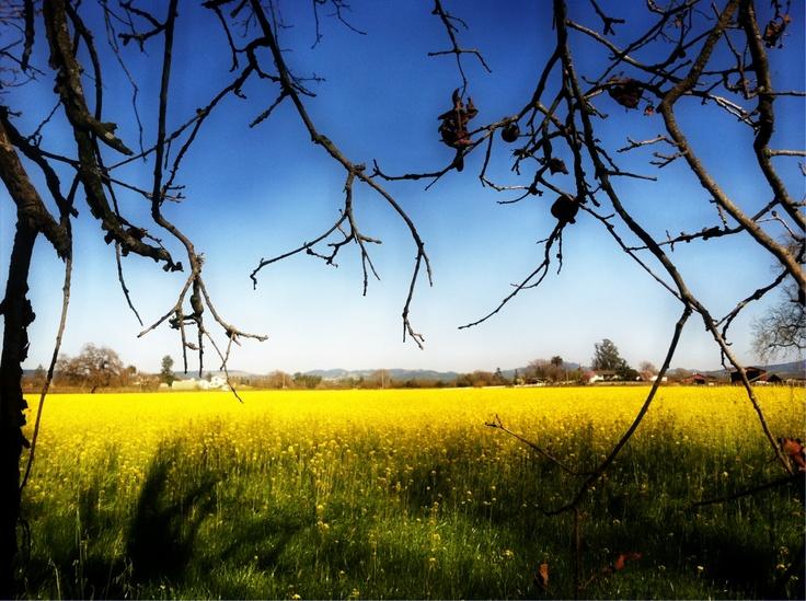 Mustard Field, Windsor Road   March 2012