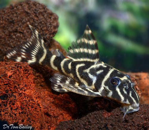 35 premium new and rare orinoco zebra pleco for Pleco fish for sale