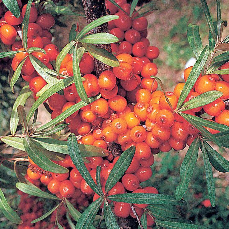 Bild 5: Sanddorn 'Botanica'
