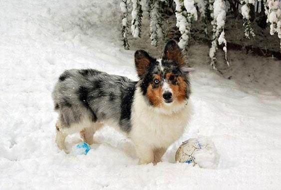 7. Croisement entre un chien de race corgi et un berger des Shetland