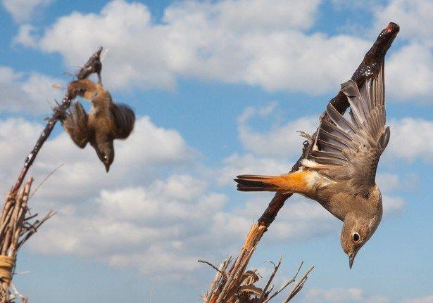 Menangkap burung dengan tongkat (focusingonwildlife.com)
