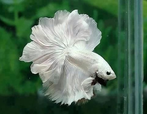 I would love having this Betta fish. I've had a variety of colors, but never one almost totally white like this majestic male.