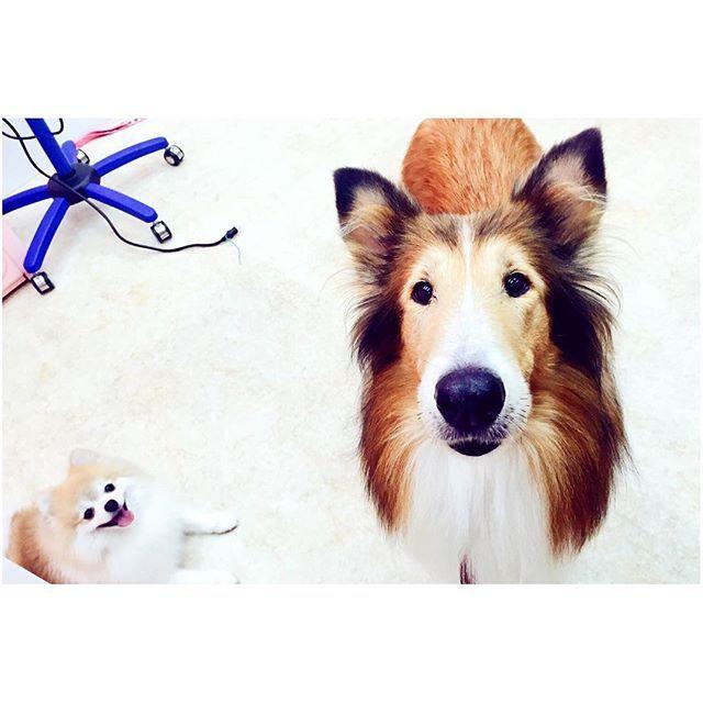 . . . エミーは強い子。大丈夫。 信じてるよ。奇跡起こせるって… また元気なエミーに会えますように みんなが応援してるよ . . .  #愛犬 #ラフコリー #エミー #大型犬  #老犬 #シェルティー じゃないよ 笑 #コリスタグラム #コリー犬 #犬  #adog #roughcollie #collie #emmy  #largedog #olddog #dog #love