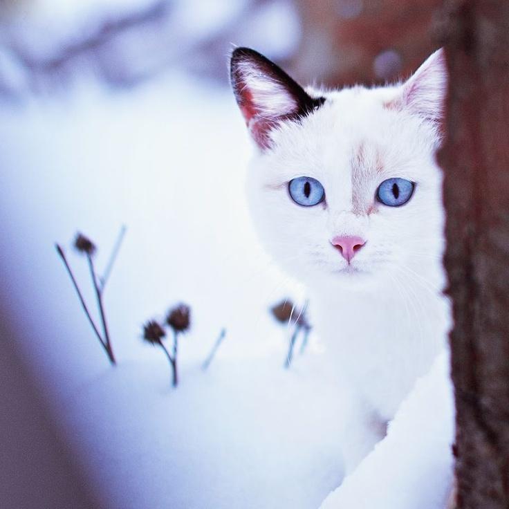 ❥ beautiful white #cat with vivid blue eyes: Artur Saribekyan, Snow Cat, Kitty Kitty, Snow Kitty, Blue Eye, Animal Cat, Animal Pets, Snow White, White Cat