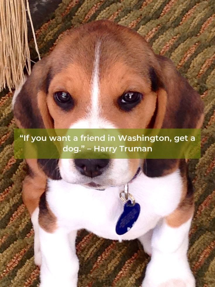 Beagle Puppy Beaglegram Beagles Tips Beagle Beagle Puppy Dogs