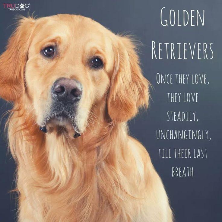Cute Light Golden Retriever 25+ best ideas ...