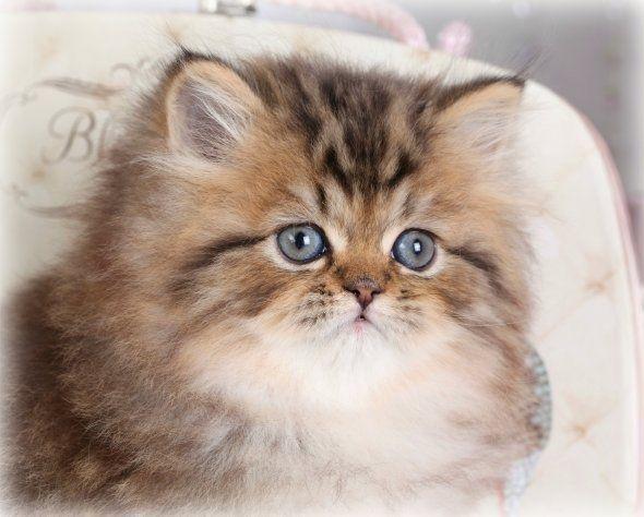 Persian Cat Normal Face In 2020 Persian Kittens Persian Cat Doll Face Persian Cat