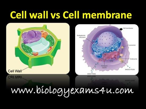 difference between cell wall and cell membrane major on what is a wall id=61813