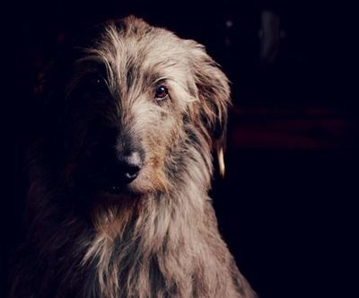 Irish Wolfhound... My dream dog.