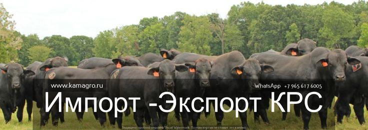 Продажа рогатого скота оптом! Оптовые цены на КРС в Россий и СНГ! http://kamagro.ru/prodazha-krs-zhivym-vesom-optom-v-kazahstane  Наши контакты ООО КамАгро - поставщик КРС по РФ и СНГ :  -Сайт : www.kamagro.ru  -WhatsApp :  +7 (965) 6176005 -Skype :  hfbkmm -Viber : +7 (965) 6176005 Мы занимаемся продажей  племенных пород КРС  и продажей  товарных пород КРС  живым весом ! За 5 лет было реализовано более 150 000 голов крупно рогатого скота по Россий и СНГ! С нами сотрудничают более 1500…