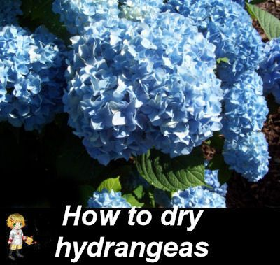 How to dry hydrangeas by the water method. http://thegardeningcook.com/drying-hydrangeas/