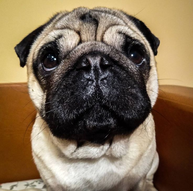 See this Instagram photo by @maurice.thepug • 1 like