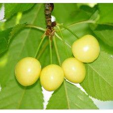 Cires soiul Bigarreau Donissen -  ( fruct galben )
