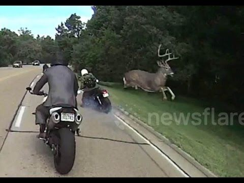 A Buck, a Motorcycle and You May Not Believe This - Deer & Deer Hunting   Whitetail Deer Hunting Tips