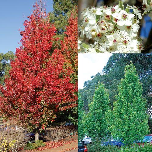 Pyrus calleryana chanticleer r a beautiful ornamental for Garden deciduous trees